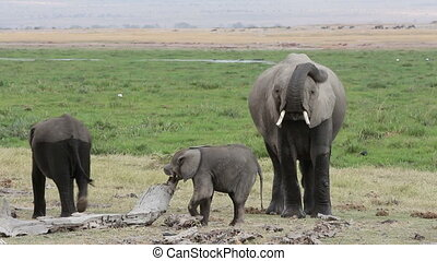 African elephant (Loxodonta africana) cow with playful calves, Amboseli National Park, Kenya