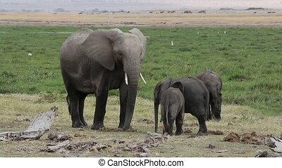 African elephant (Loxodonta africana) cow with playful calves, Amboseli National Park, Kenya