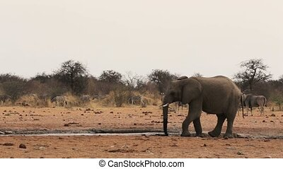 African elephants at a muddy waterh