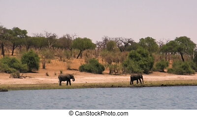 African elephants at river on sunny day. Hendheld shot from...