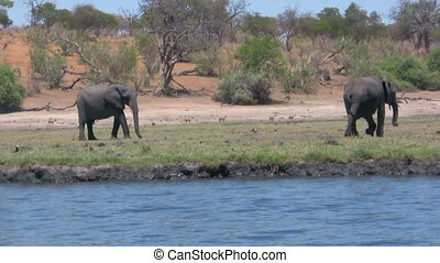African elephants at river on sunny day