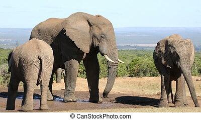 African elephants at waterhole - African elephants...
