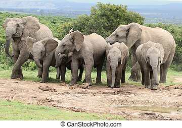 African Elephants at Waterhole - Excited African elephants...