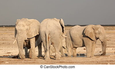 African elephants at waterhole - Large African bull...