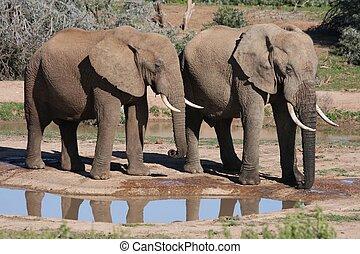 African Elephants at Waterhole - Two African elephants...