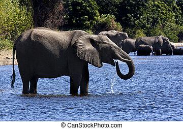 African Elephants - Botswana - A group of African Elephants...