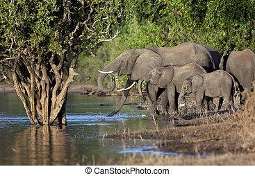 African Elephants - Botswana - Group of African Elephants...