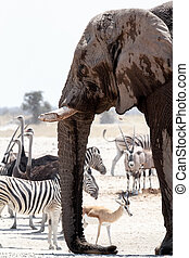 African elephants drinking at a muddy waterhole with other animals
