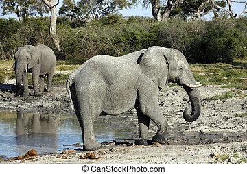 African elephants drinking at a waterhole - Botswana