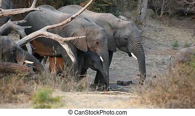 African elephants drinking water