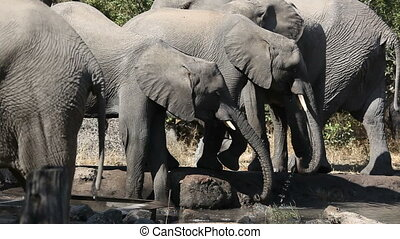African elephants (Loxodonta africana), drinking water at a waterhole, South Africa