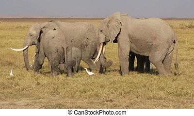 African elephants feeding