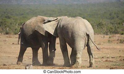 African elephant (Loxodonta africana) bulls fighting, Addo Elephant National Park, South Africa