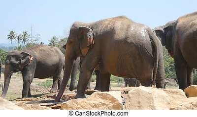 African elephants graze in vicinity of reserve. Slow motion.