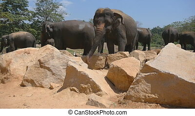 African elephants graze in vicinity of reserve. Slow motion