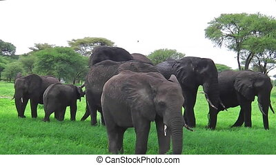 African elephants herd