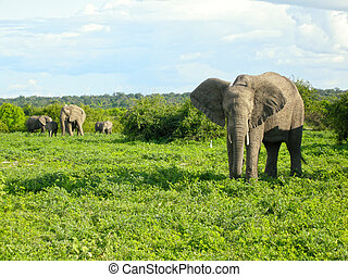african elephants in bush savannah, Botswana, Africa.