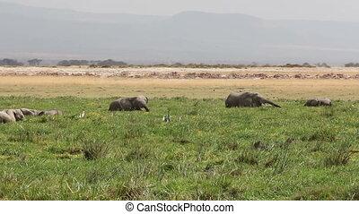 African elephants (Loxodonta africana) feeding in marshland, Amboseli National Park, Kenya