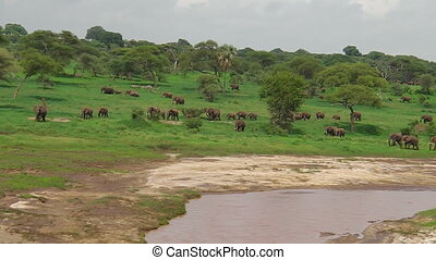 African elephants in the river