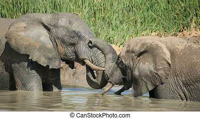 African elephants in waterhole