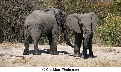 Interaction between two African elephant (Loxodonta africana),Sabie-Sand nature reserve, South Africa