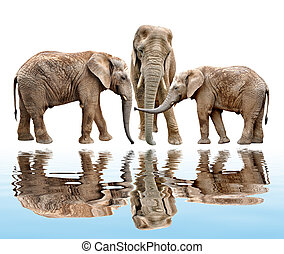 African elephants isolated
