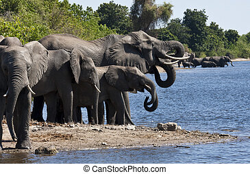 A group of African Elephants (Loxodonta africana) drinking at the Chobe River in Chobe National Park in northern Botswana