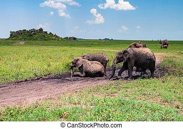 African elephants or Loxodonta cyclotis having fun in mud in savannah