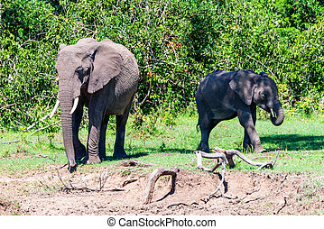 Browsing young and adult African elephants or Loxodonta cyclotis in savannah