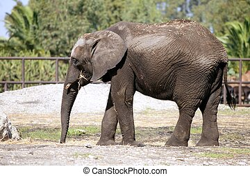 African elephants over clay soil with grass in background