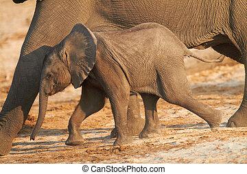 African Elephants - A herd of African elephants (Loxodonta...