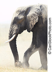 African Elephants - African elephant (Loxodonta Africana) on...