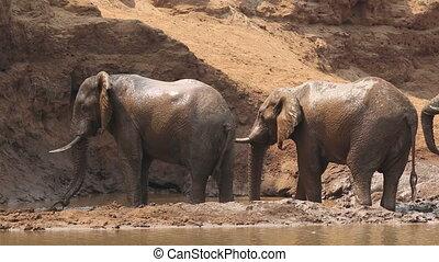 Large African bull elephants (Loxodonta africana) spraying mud, Kruger National Park, South Africa