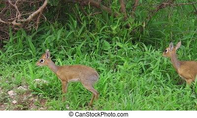 dik dik antelopes - African females of dik dik antelopes on...