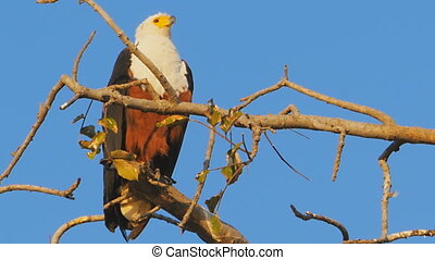 african eagle looking for prey on a branch at chobe national park botswana