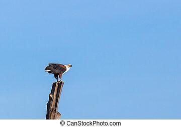 African fish eagle at Lake Naivasha, Kenya