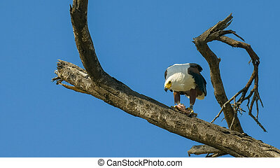 african fish eagle feeding in a tree at lake baringo, kenya