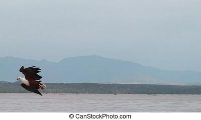 African Fish-Eagle, haliaeetus vocifer, Adult in flight,...