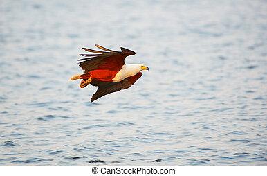African Fish Eagle (Haliaeetus vocifer) in flight in...