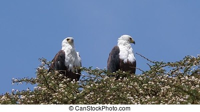 African Fish-Eagle, haliaeetus vocifer, Pair at the top of...