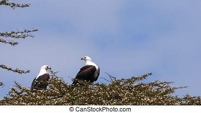 African Fish-Eagle, haliaeetus vocifer, Pair singing at the...