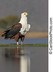 African fish-eagle, Haliaeetus vocifer, single bird by...