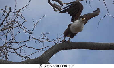 Bottom view of African Fish-Eagle, haliaeetus vocifer, perched starting to fly in super slow-motion