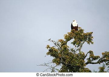 African Fish Eagle in Uganda, Africa