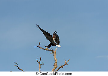 African fish eagle landing on a tee