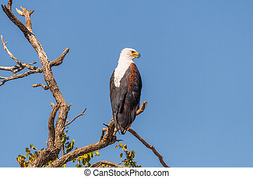 African fish eagle on a dead tree branch