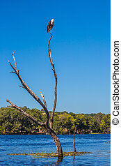 African fish eagle on a dry tree in river