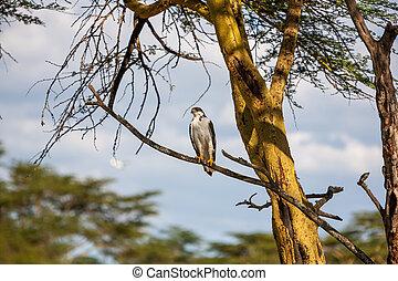 African Fish Eagle on a tree, Kenya