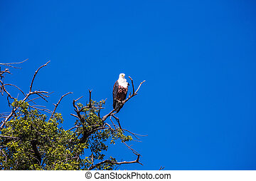 African fish eagle on branch of a tree