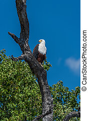 African fish eagle on dead tree branch